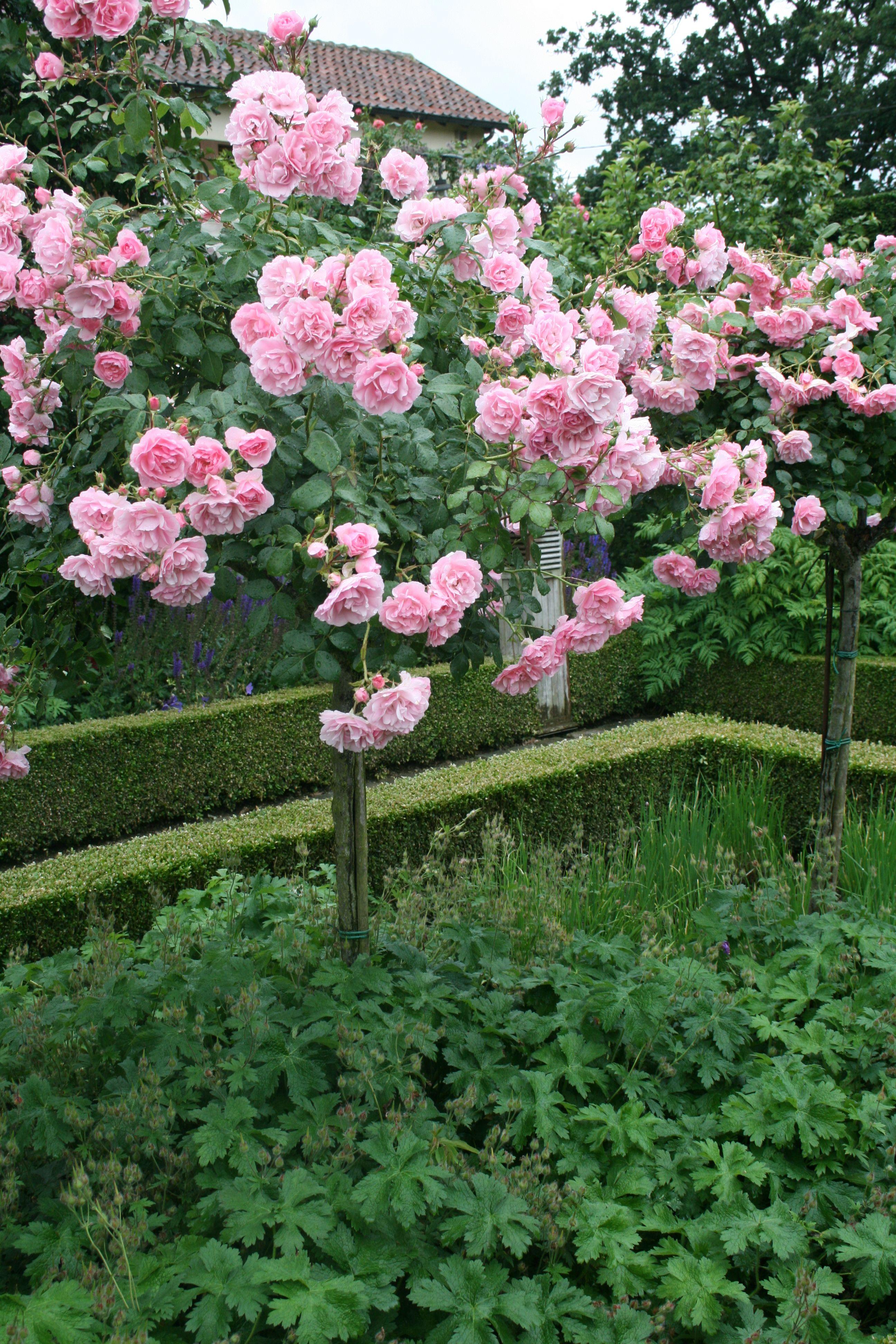 Hochstammrosen Bonica Gartenreise Holland Belgien Hochstammrosen Blumen Anbauen Garten