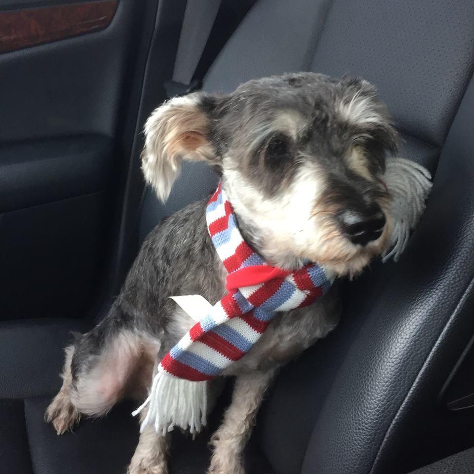 Lost Dog Schnauzer Miniature Jacksonville Fl United States Losing A Dog Dogs Schnauzer