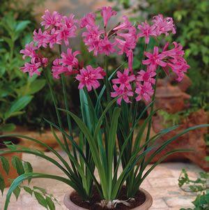 Amarine pink bulbs garden express and plants amarine pink garden express mightylinksfo Gallery