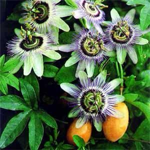 Passion Fruit Vine They Have Beautiful Flowers And I Can Use The Fruit For Cakes And Jam Passion Flower Flowering Vines Passiflora Caerulea