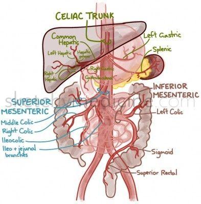 blood_supply_GI | Anatomy & Physiology | Pinterest | Trucos ...