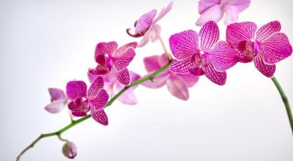 orquidia entre as flores mais bonitas do mundo