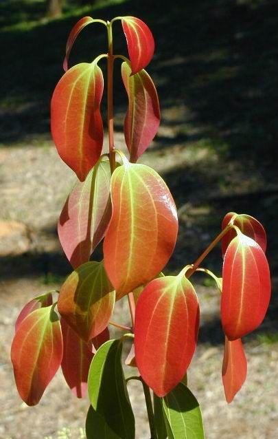 Piante tropicali aromatiche e da spezia Alpinia nutans