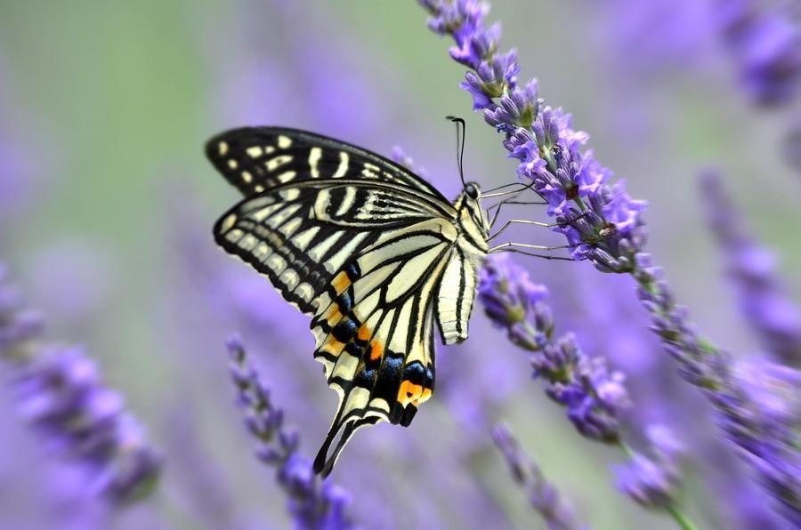 all newest  pixdaus  butterfly photos swallowtail