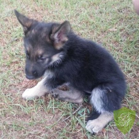 German Shepherd Puppies For Sale In Illinois Find Illinois