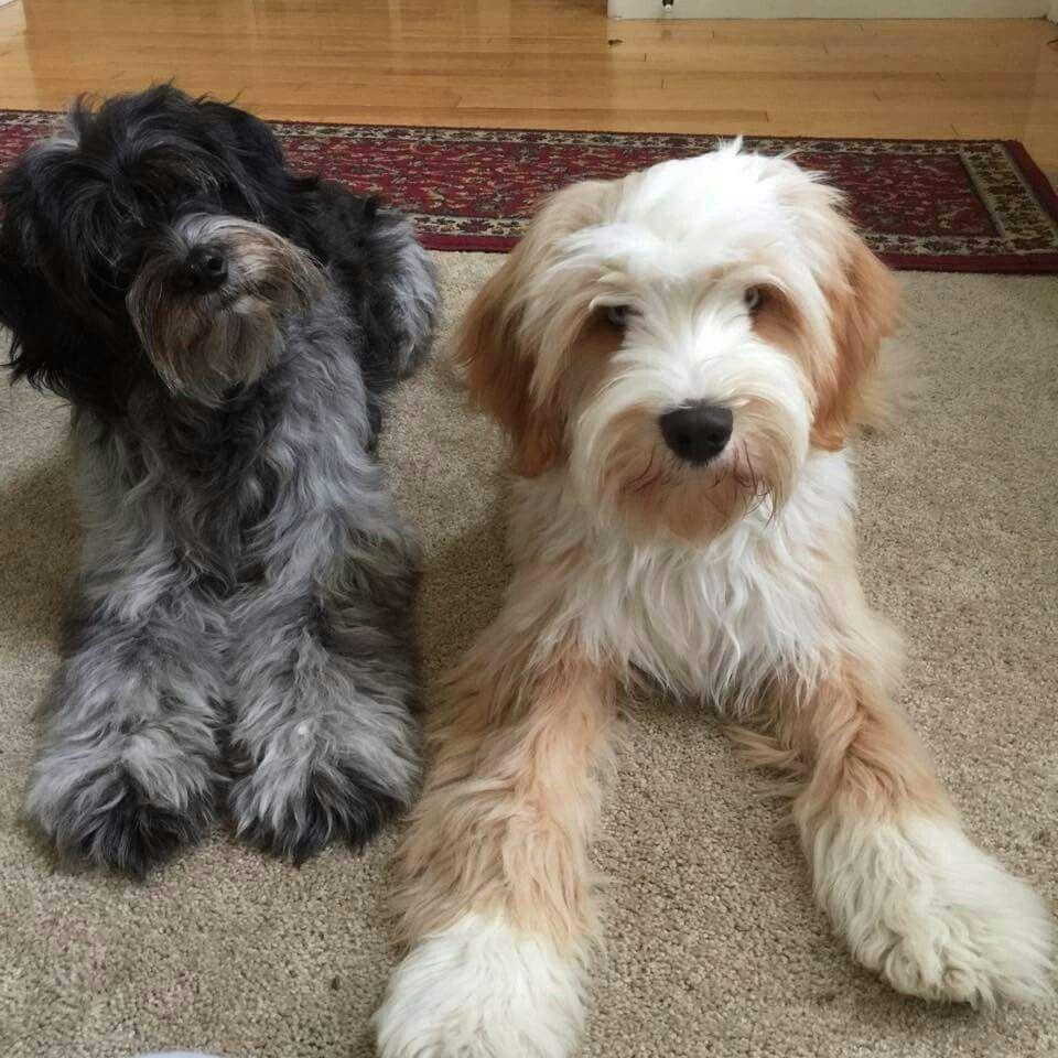 Tibetan Terriers Tibetan terrier, Terrier dogs, Puppies