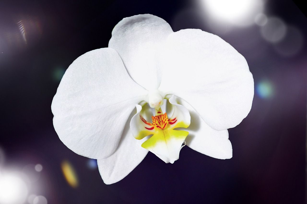 Orchid Meaning Is Love Beauty Refinement Beautiful Lady Chinese