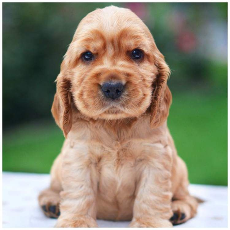 Average Age Of An American Cocker Spaniel Englishcockerspaniel Spaniel Puppies Cocker Spaniel Puppies Cute Names For Dogs