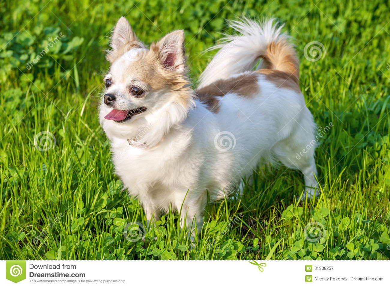 White With Red Long Haired Chihuahua Dog On Green Lawn Background Chihuahua Chihuahua Dogs Cute Dogs Breeds