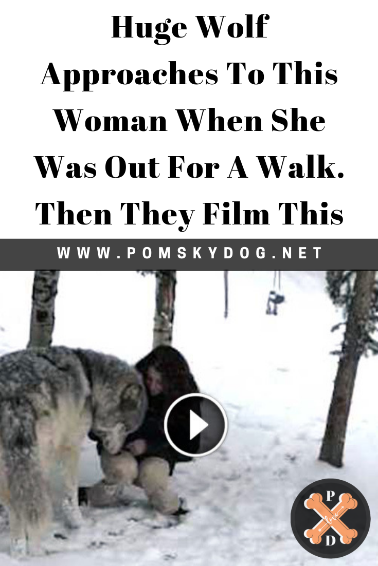 Huge Wolf Approaches To This Woman When She Was Out For A Walk Then They Film This Pomskydog Bull Mastiff Puppies Mastiff Puppies Boxer Dog Quotes