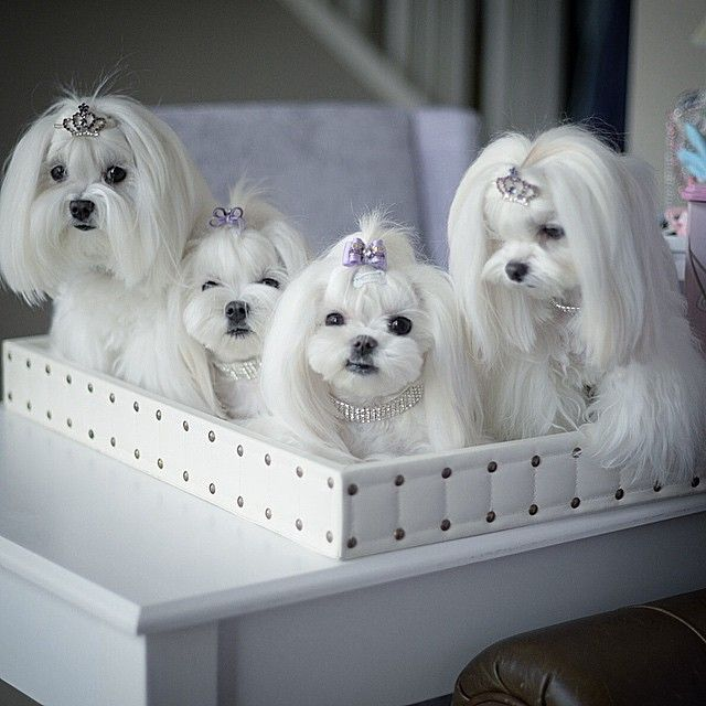 Maltese These Dogs Are So Beautiful And Adorable And Very Luck To