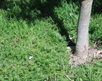 Yarrow Lawn | Lawn Substitutes | Pinterest | Lawn