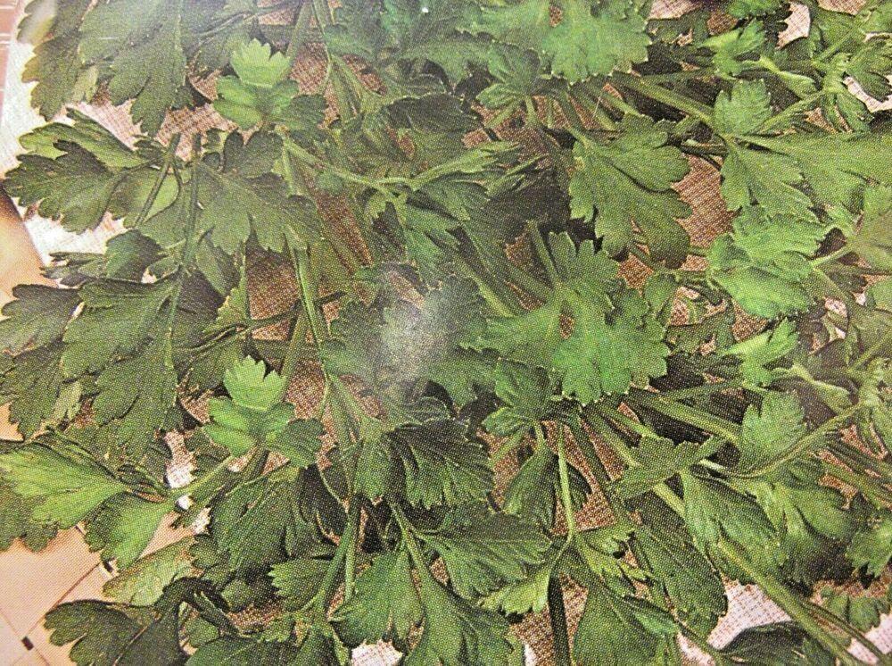 exotisch Garten Pflanze Samen Sämereien Exot Kräuter STERNBLÜTEN LAVENDEL