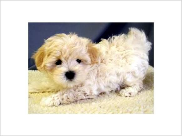 Pin On Maltipoo Puppy Love