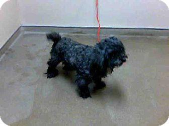 Las Vegas Nv Poodle Miniature Meet Mooch A Dog For Adoption Dog Adoption Kitten Adoption Miniature Poodle