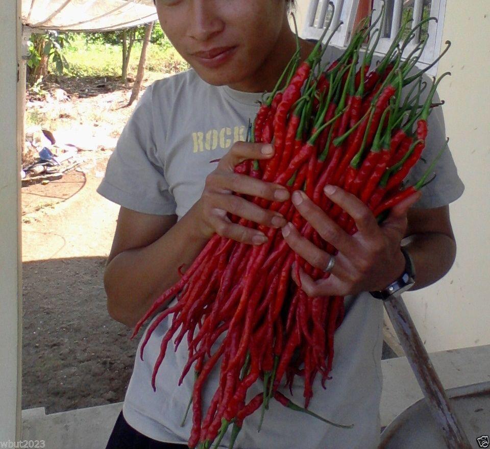 Légumes graines Indonésien Hot Chili Pepper graines MONSTRE Taille 28-33 cm!! très Rare jardin décoration 100 pcs B03