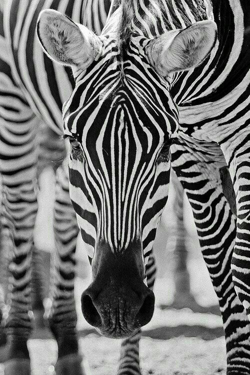 Black and White Photography Zebra Animaux, Animaux