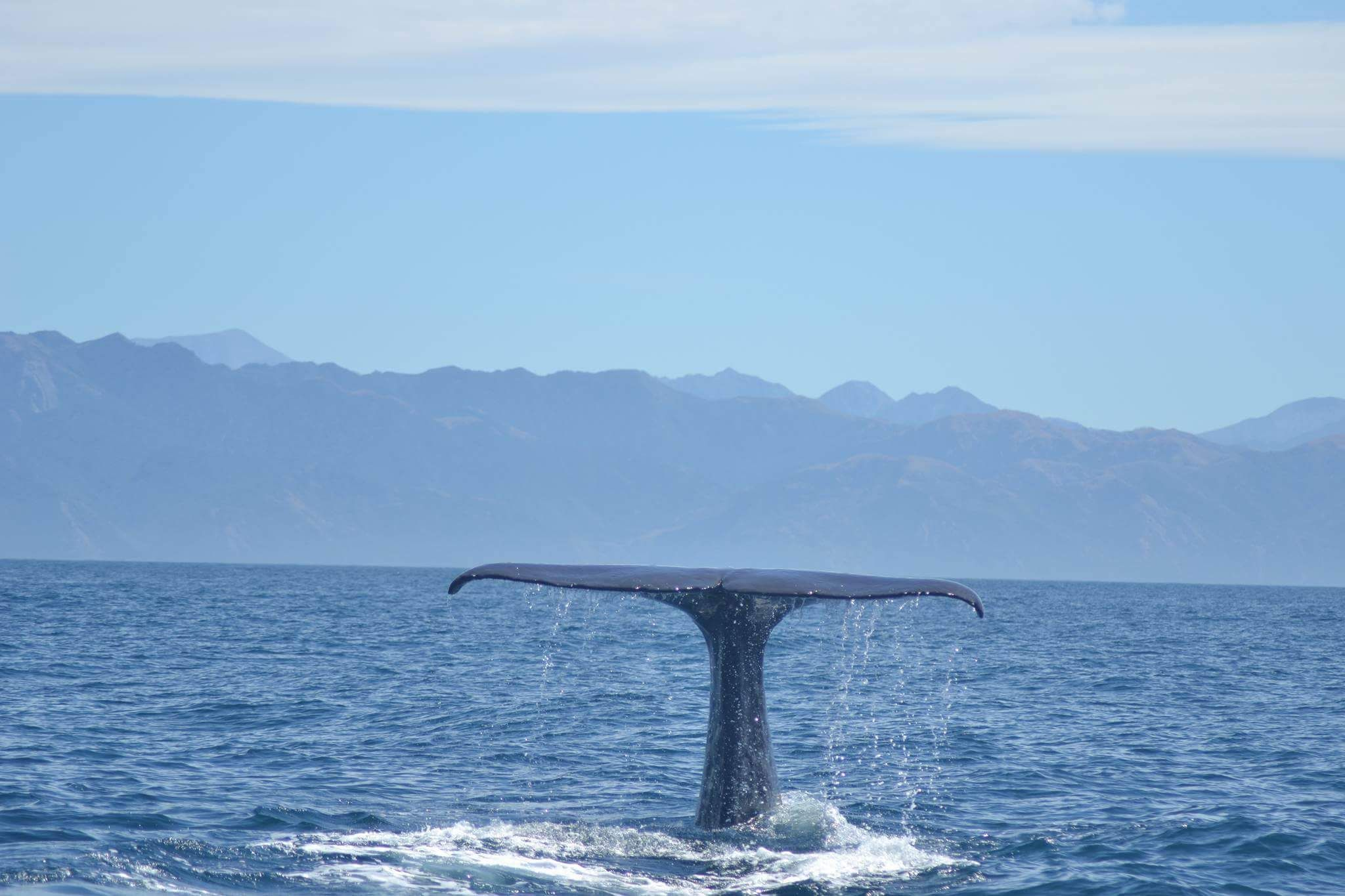 "Whale Watch Kaikoura on Twitter: ""Semi-resident #spermwhale Tutu shows such an amazing tail. #kaikoura #whalewatching #nzmustdo https://t.co/O7VBlLX1dx"""