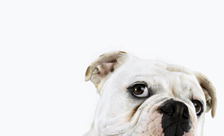 English Bulldogs Cute Dogs Animals Baby Dogs