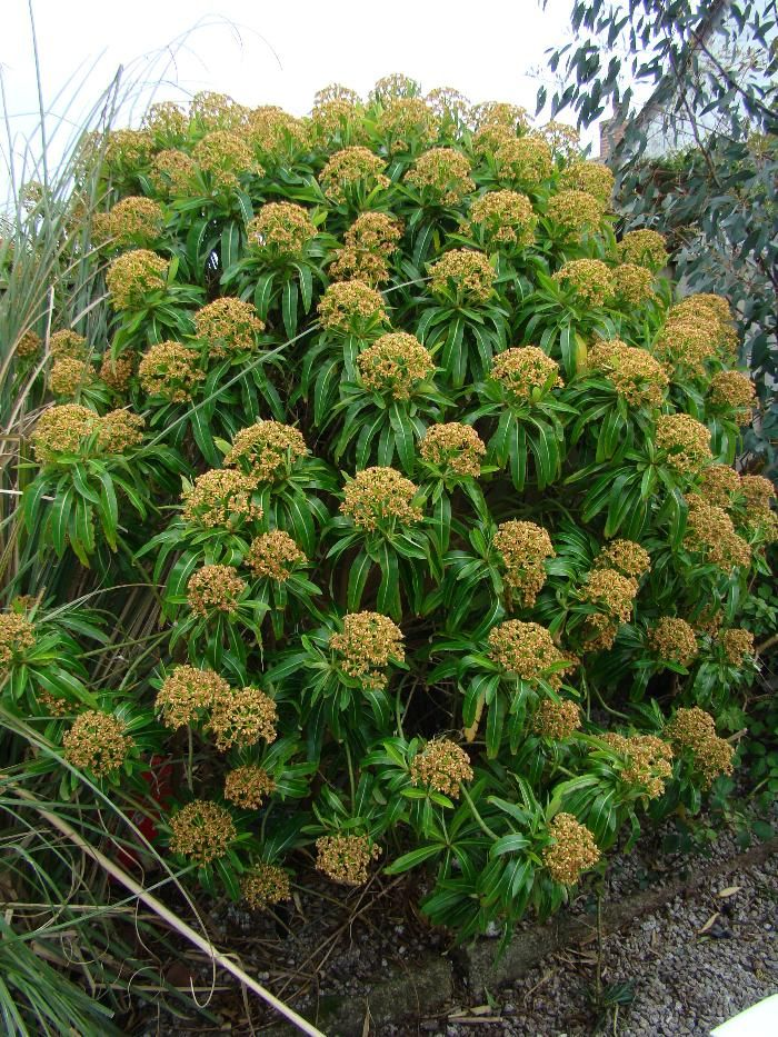 Euphorbia mellifera Honey Spurge Named for the fragrance and