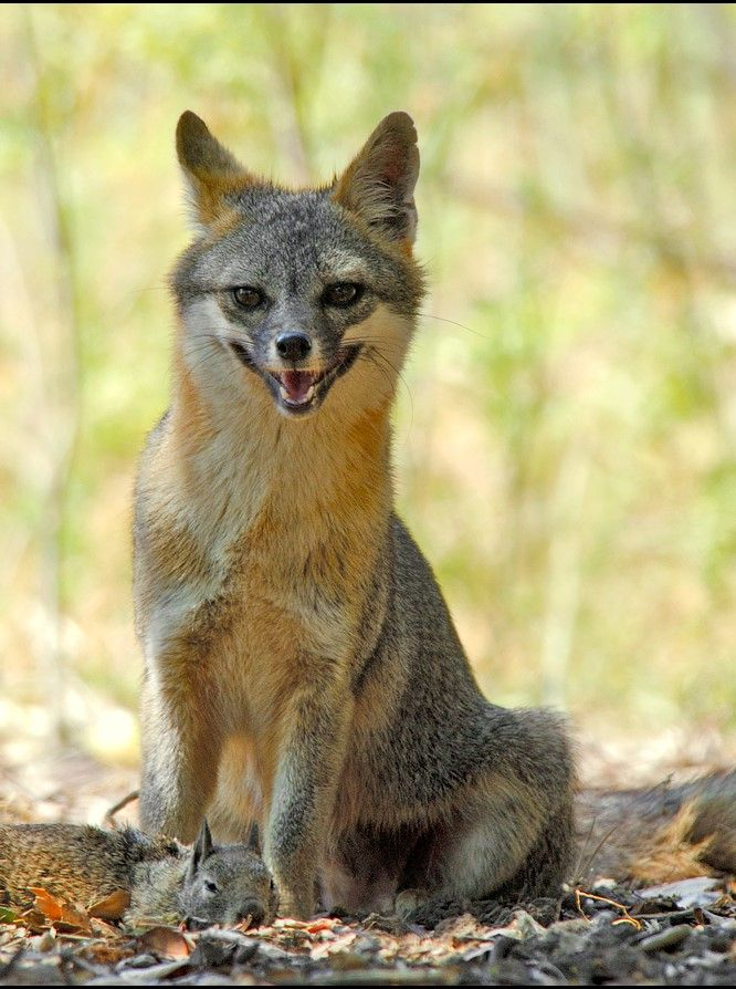 One happy grey fox- Coyote Hills Regional Park, Fremont CA by Jerry Ting