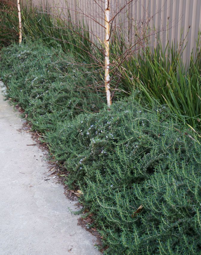 Prostrate Rosemary 4 Pot Hello Hello Plants Garden Supplies Growing Rosemary Plants Hardy Perennials