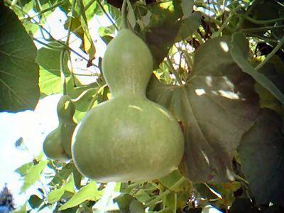 El Porongo Calabaza De Peregrino Guaje Bule O Jícaro Lagenaria Siceraria Calabaza De Peregrino Cultivo De Calabaza Plantar Calabazas