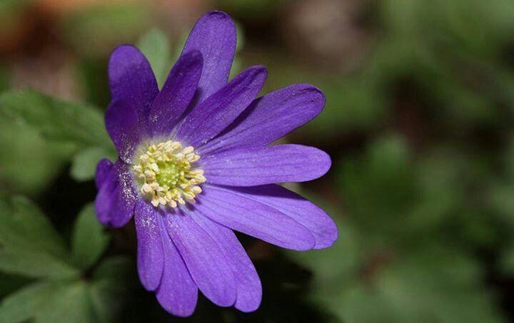 Anemona azul