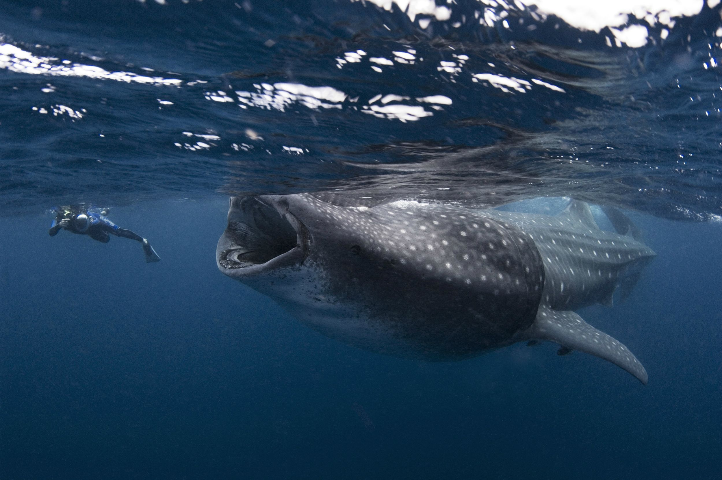 Incredible Photo Of A Huge Whale Shark Almost Swallowing A Diver