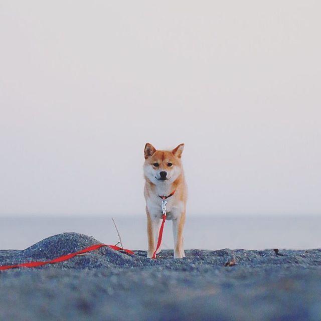 * 今日は散歩に行けるかな。 * #beach #shonan #japan #dog #shiba #shibainu #柴犬 #柴犬ヤマト #team_jp_