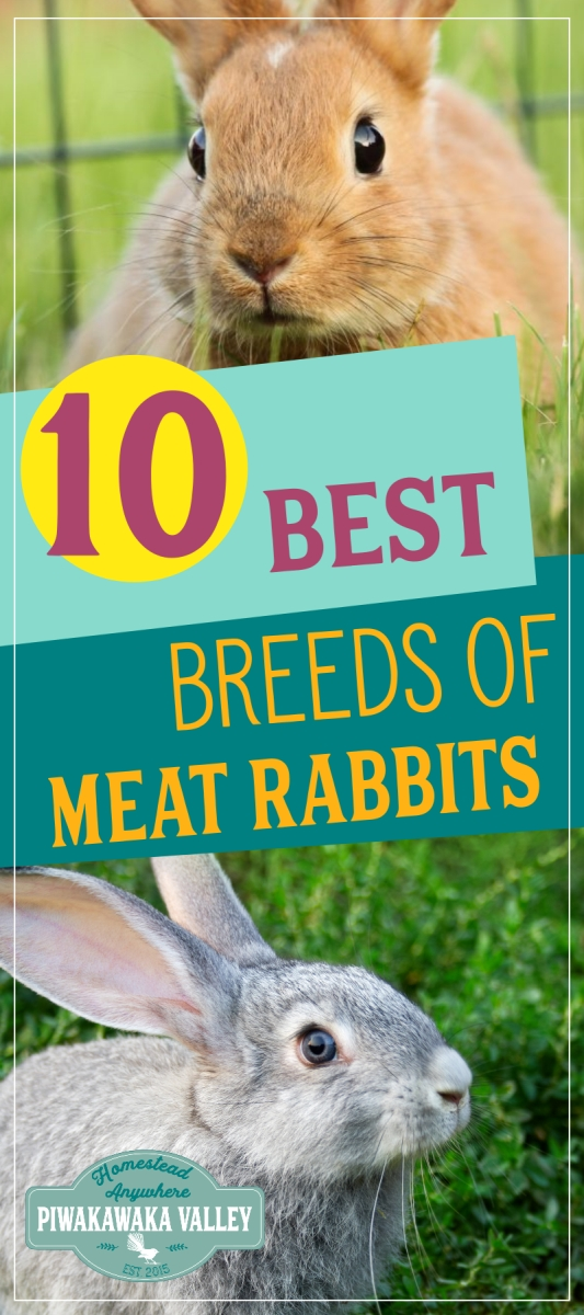 Best Rabbits for the Homestead in 2020 (With images ...