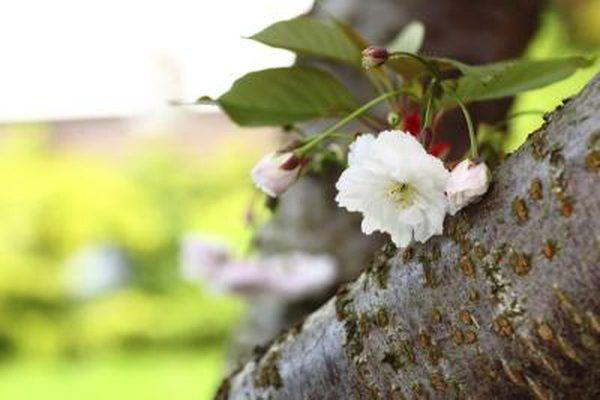 A Close Up Of Cherry Blossom Bark Tree Identification Plum Tree Garden Guide