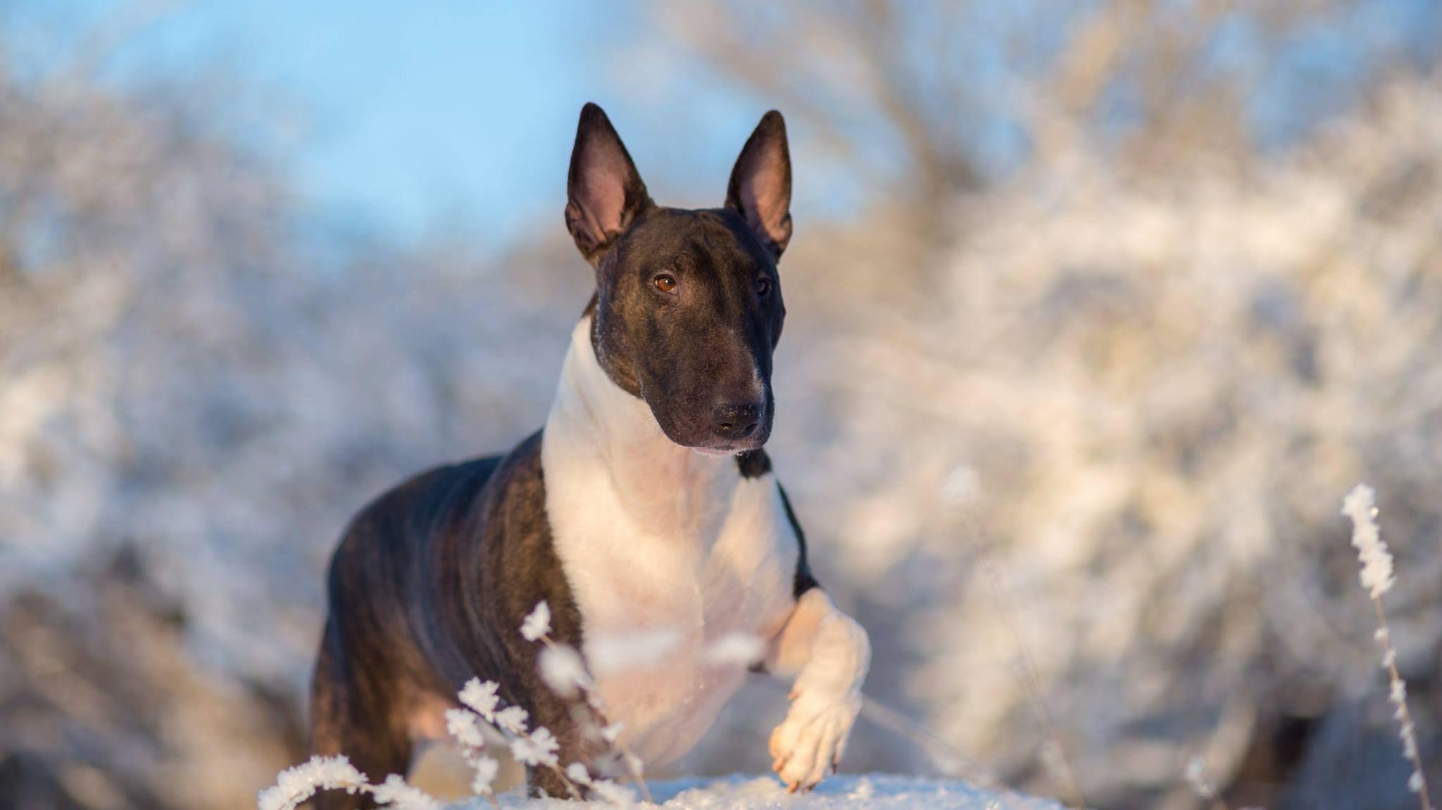 Jonny Saxholm Photos Of Fiona Miniature Bull Terrier Bull