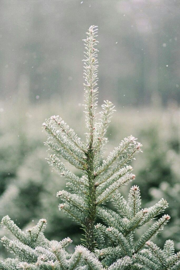 A Christmas Tree Farm in Maine Зима, Новый год и