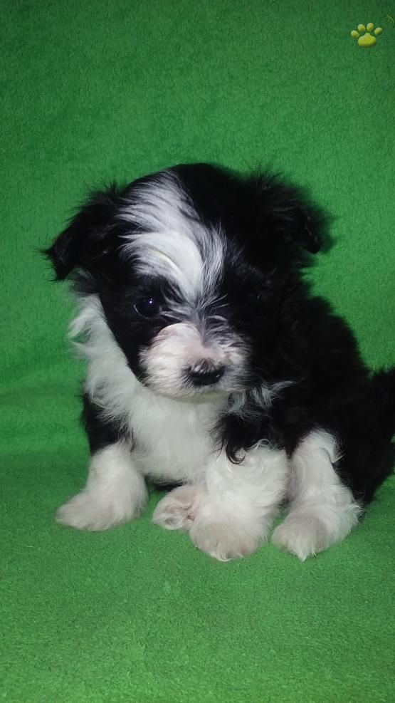 Olaf Malti Pom Puppy For Sale In Denver Pa Lancaster Puppies