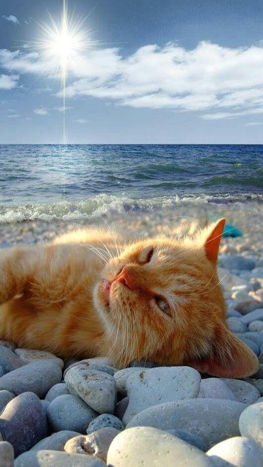 #chat  #monchat  #passionchat  #instachat  #jaimemonchat  #adorable  #catlover  #meow  #kitten  #kitties  #ilovemycat  #catpassion  #cat  #catpic  #catsagram  #cute  #mignon #plage, #monchatdore.com Un chat, la plage, la mer :D monchatdore.com