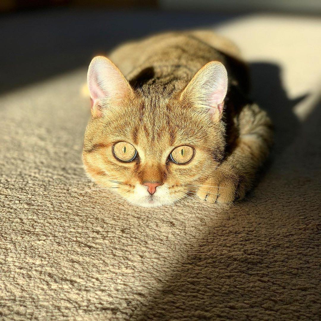 Rise And Shine Britishshorthair Britishshorthaircat Britischkurzhaar Britischkurzhaarkatze Bkh Bkh British Shorthair Cats Baby Cats Golden Tabby