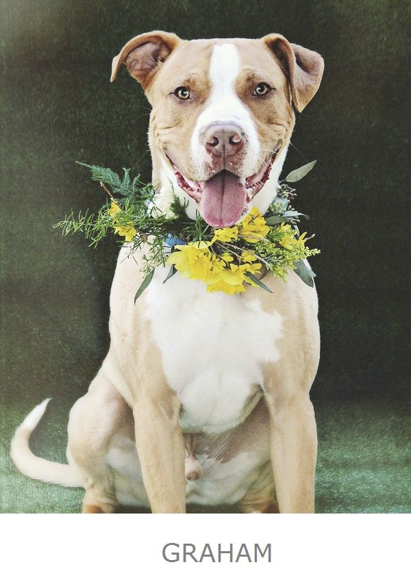 Graham is up for adoption from Worcester County Humane Society,floral collar by © Little Miss Lovely, Pit bull flower power