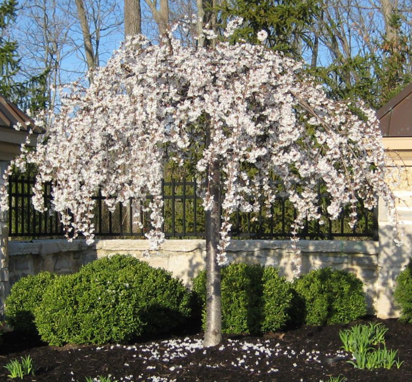 A Small Graceful Weeping Tree With Snow White Flowers Covering The Bare Branches In Spring The S Trees For Front Yard Small Weeping Trees Weeping Cherry Tree
