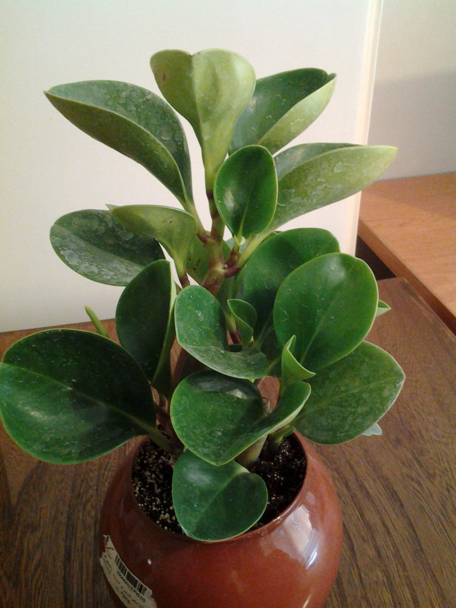 Peperomia If You Want A Small And Adorable Houseplant Then Is Perfect For It Only Grows To About Six Inches High Has Thick