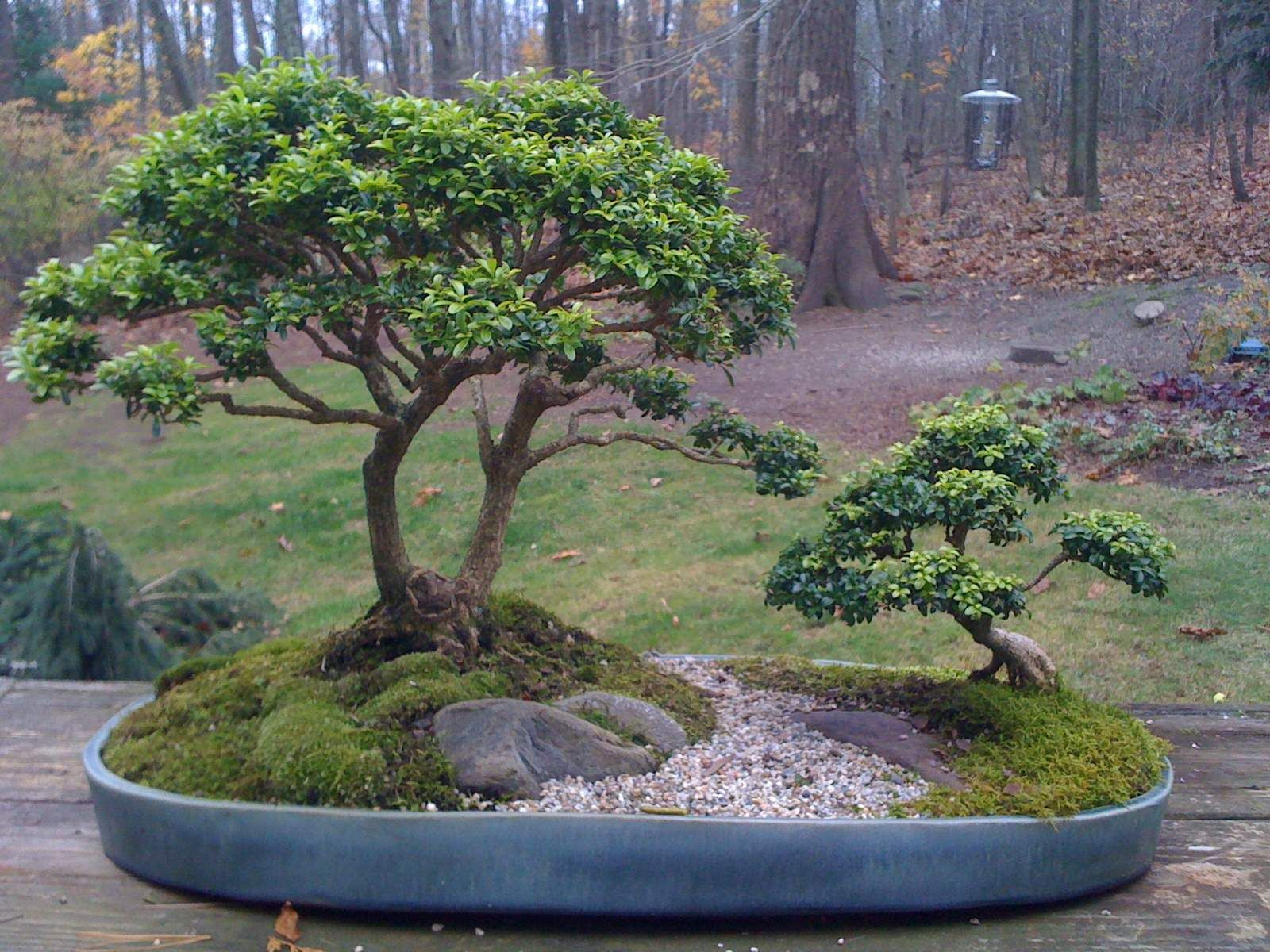 Boxwood bonsai from garden club of newtown the