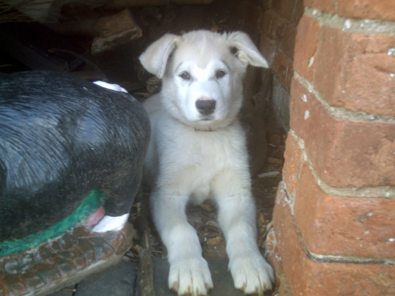 Alaskan Malamute X White German Shepherd Puppies Malamute