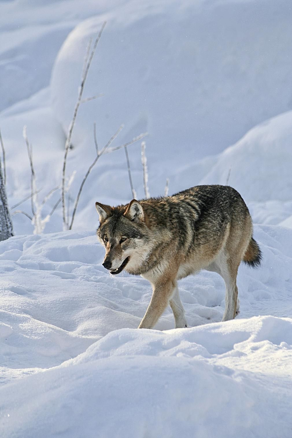 Embedded image permalink - Aku Eronen @aku_ero · Nov 11 a wild wulf in the #forest - #nature #animals - photo by Visit Finland