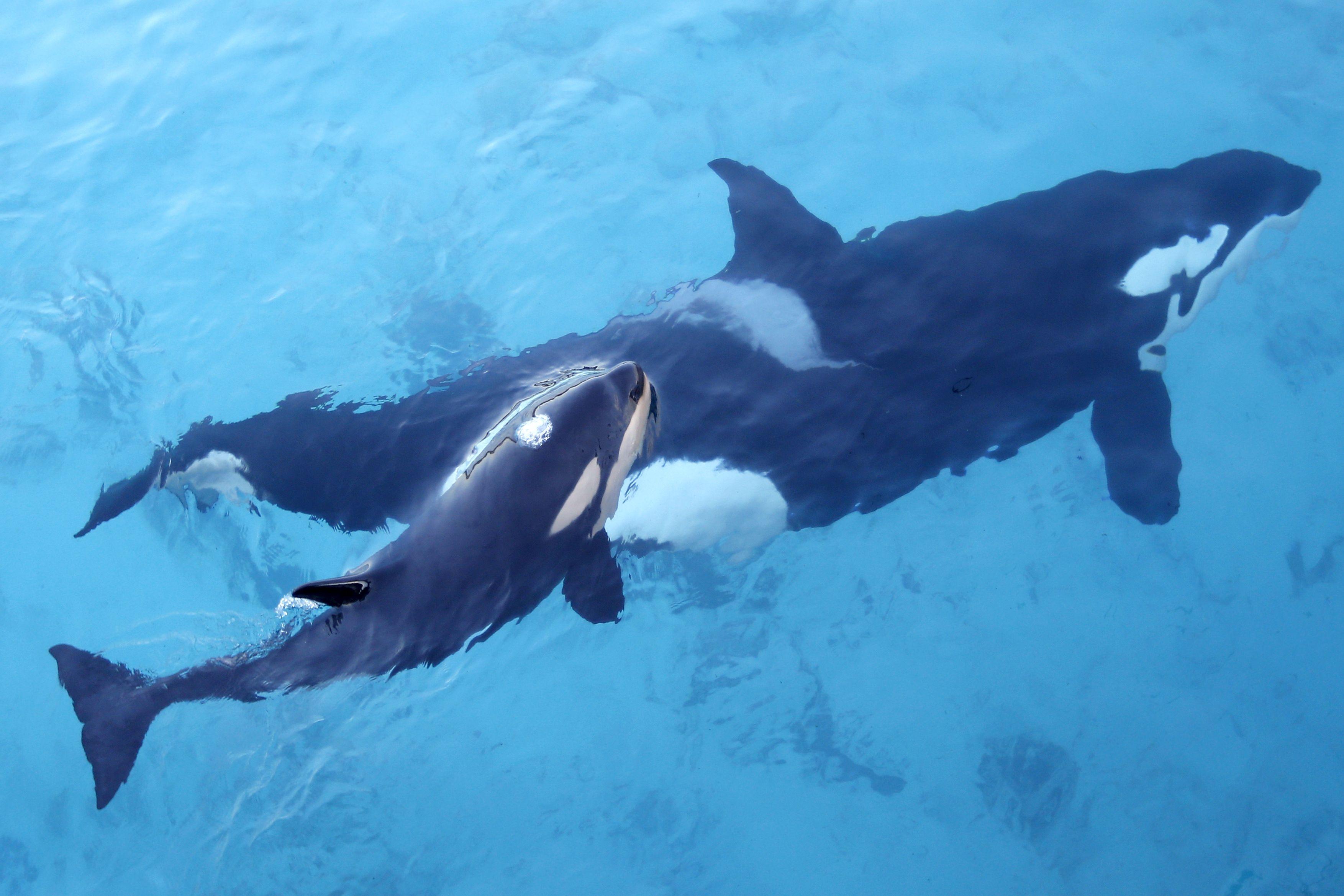 Vergessen Sie Papageien Jetzt Plappern Orcas Ausgestopftes Tier Arktische Tiere Niedliche Tierbilder