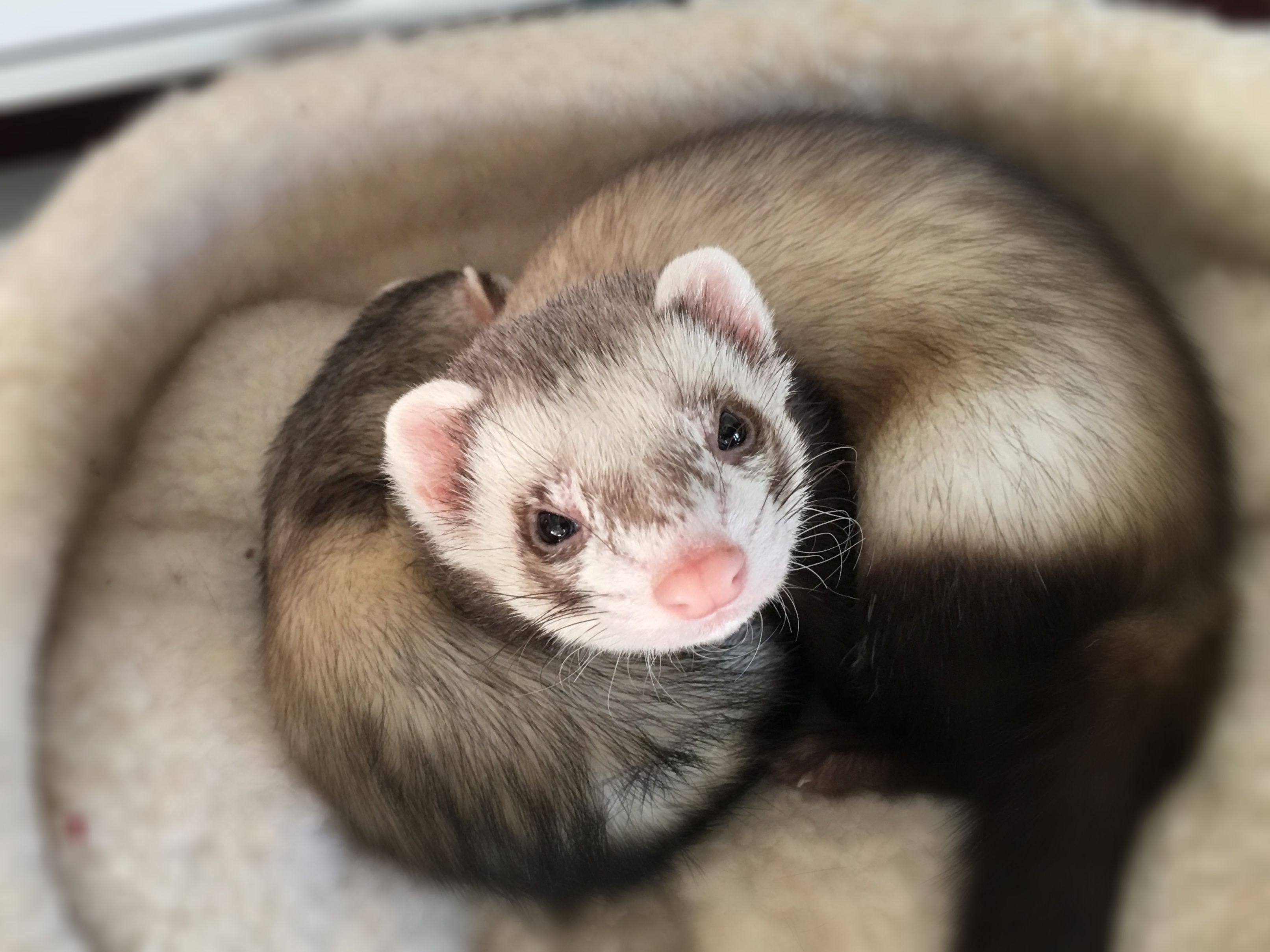 Ferris The Ferret Pet Ferret Cute Ferrets Funny Ferrets