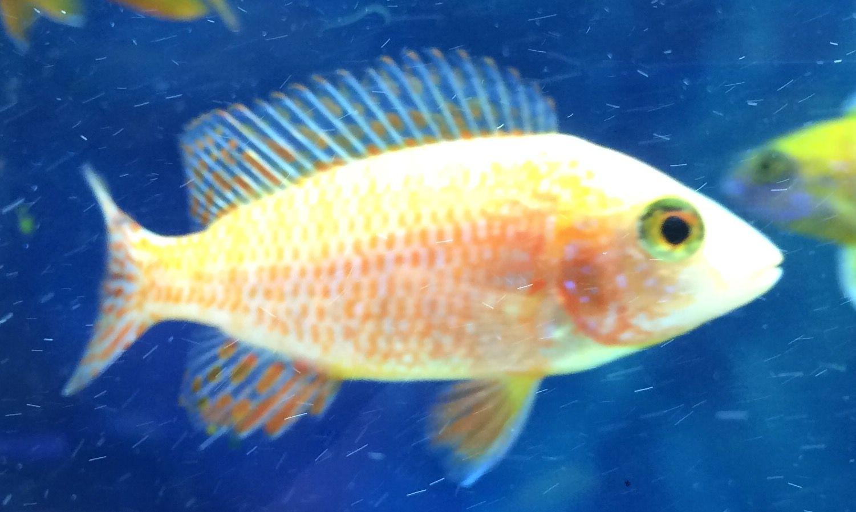 Firefish Fish Stock Fish Pet Pet Store