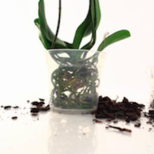 Top Orchid Repotting Tips Gardens Plants and Flowers