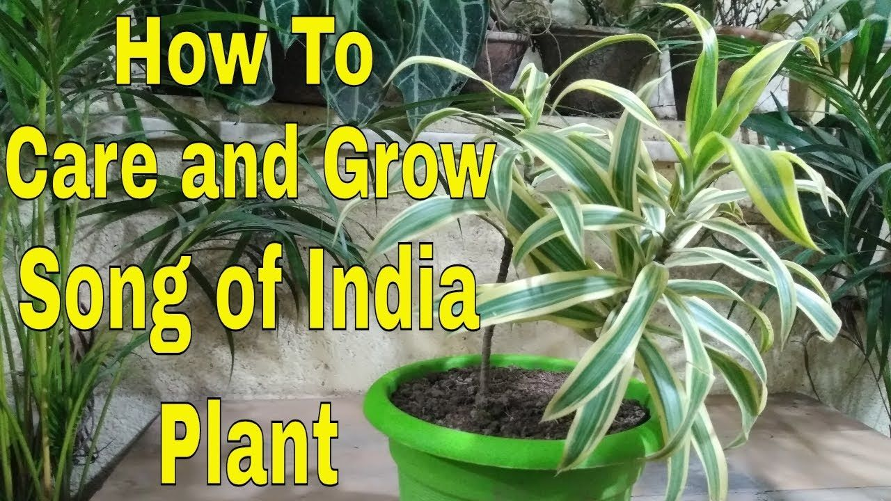 How To Care And Grow Song Of India Plant At Home Hindi Plants