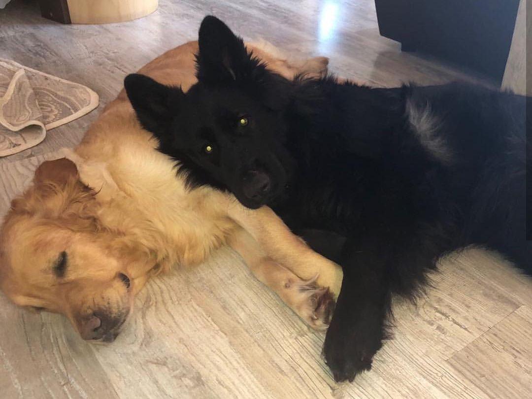 Black German Shepherd And Golden Retriever Black German Shepherd