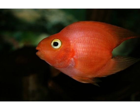 The blood parrot cichlid also known as parrot cichlid and for Pictures of parrot fish